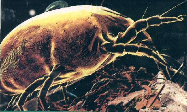 Dust Mites Cause Asthma